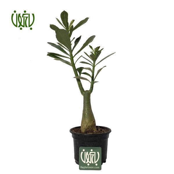 آدنيوم-adenium-obesum  آدنیوم-Adenium obesum plant adenium obesum 01 گل و گیاه خانگی گل و گیاه خانگی plant adenium obesum 01