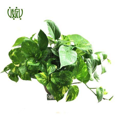 پوتوس  پوتوس -EPIPREMNUM AUREUM plant epipremnum aureum 3 450x450