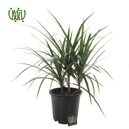 دراسنا پرچمی  دراسنا پرچمی (بوته ای)-Dracaena marginata plant madagascar dragon tree 5 450x450