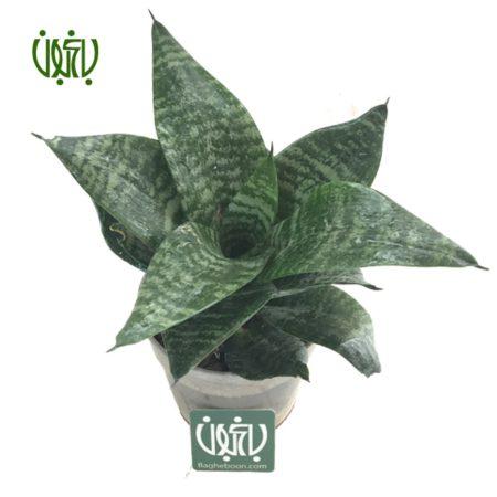 سانسوریا مینیاتوری  سانسوریا پا کوتاه (مینیاتوری)-Sansevieria Trifasciata hahnii plant sansevieria 03 450x450