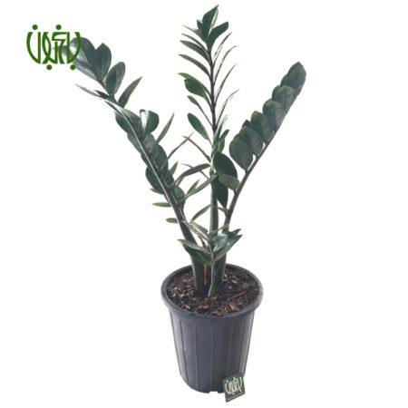 زاموفیلیا  زاموفیلیا-Zanzibar Gem plant zanzibar gem 3 450x450
