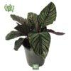 گل مارانتا - prayer plant