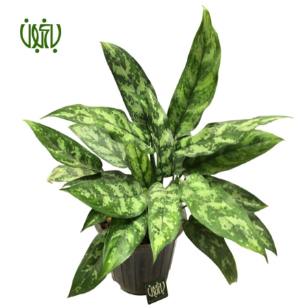 گیاه آگلونما بلک  آگلونما بلک-CHINESE EVERGREEN plant chinese evergreen balck 5 450x450