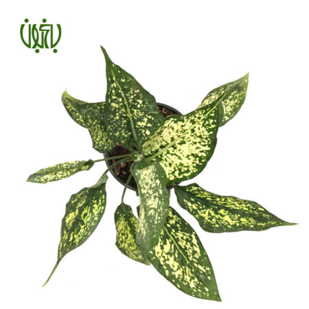 آگلونما معمولی  آگلونما سفید -CHINESE EVERGREEN plant chinese evergreen white 4 450x450