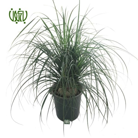 لیندا  لیندا-PONYTAIL PALM plant ponytail palm 01 450x450