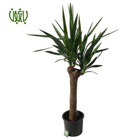 یوکا  یوکا-SPINELESS YUCCA plant spineless yucca 4 450x450