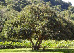 نحوه تکثیر گیاه فیکوس الاستیکا 1200px Erythrina caffra KZN NBT a 260x185  خانه 1200px Erythrina caffra KZN NBT a 260x185