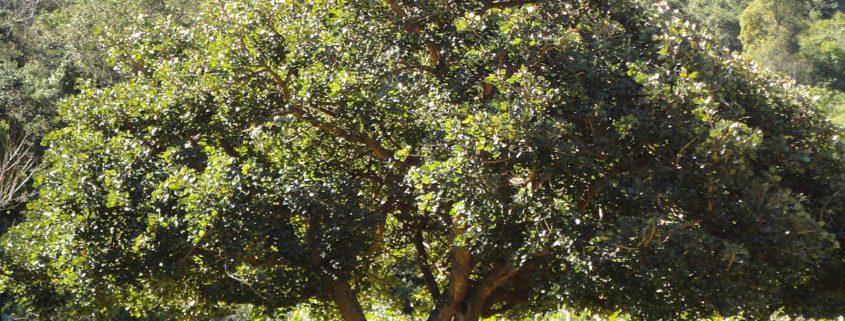 زمان های هرس درختان و درختچه های فضای سبز 1200px Erythrina caffra KZN NBT a 845x321