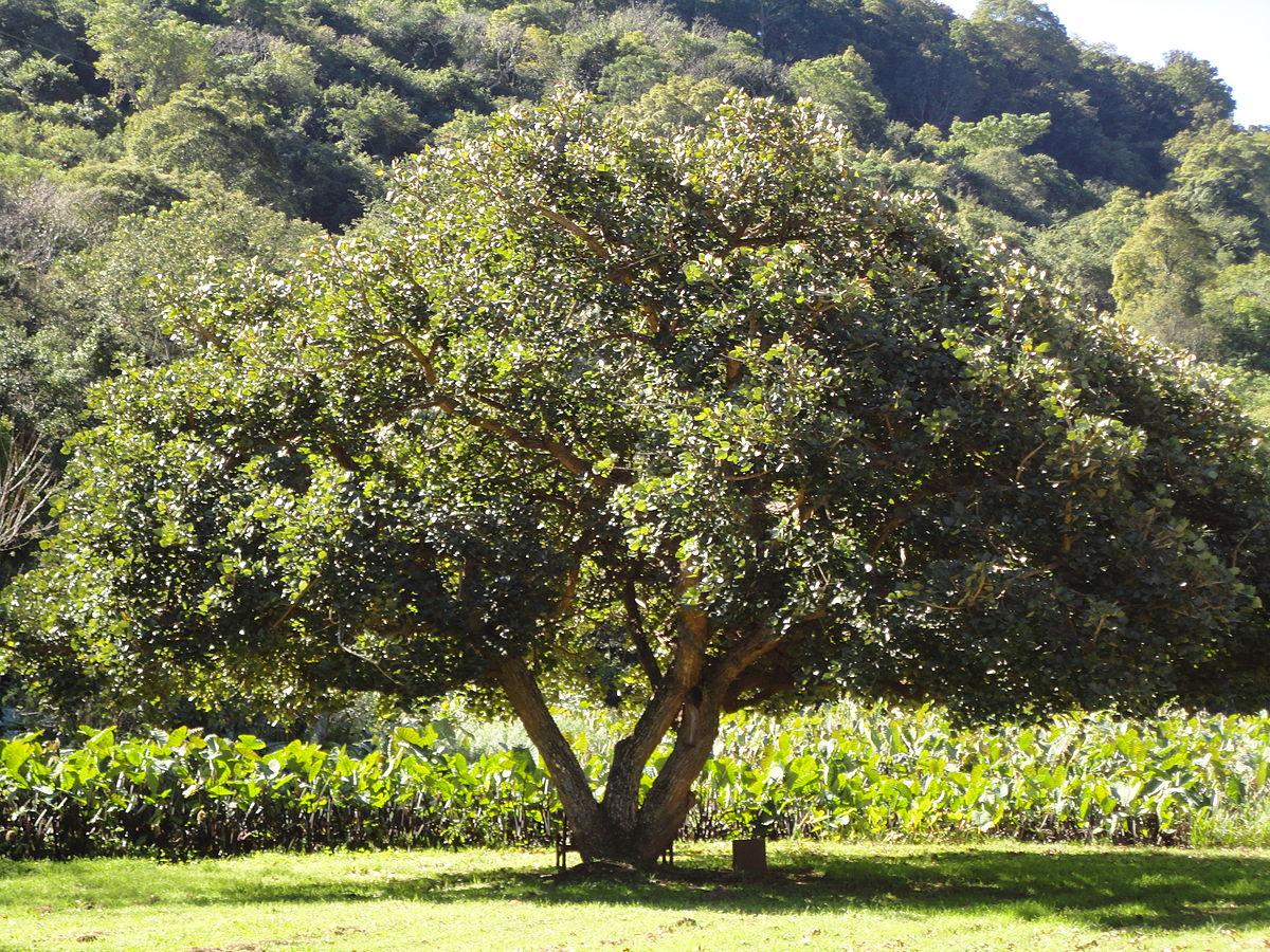 زمان های هرس درختان و درختچه های فضای سبز 1200px Erythrina caffra KZN NBT a  وبلاگ 1200px Erythrina caffra KZN NBT a