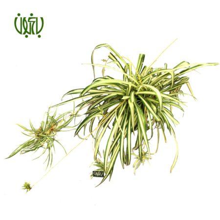 گندمی  گندمی-Spider plant Spider plant 3 450x450