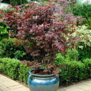 گیاه افرا  زمان های هرس درختان و درختچه های فضای سبز acer plant 5 300x300