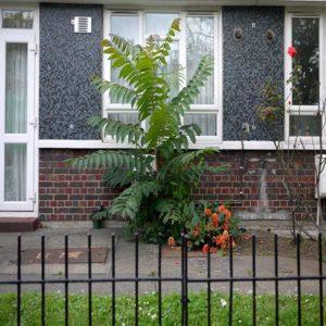 گیاه عرعر  زمان های هرس درختان و درختچه های فضای سبز aillanthus plant 6 300x300