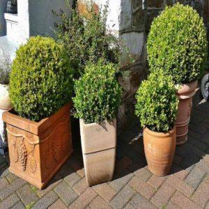 شمشاد  زمان های هرس درختان و درختچه های فضای سبز blog buxus sempervirens plant 1 300x300
