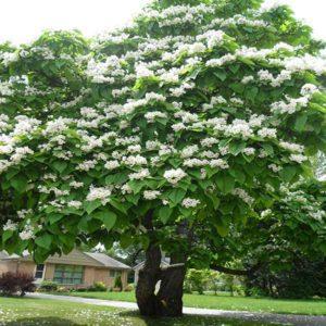 درخت جوالدوزک  زمان های هرس درختان و درختچه های فضای سبز blog catalpa speciosa plant 2 300x300