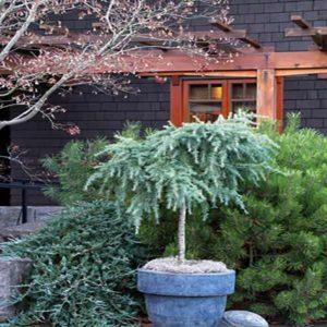 گیاه سدر  زمان های هرس درختان و درختچه های فضای سبز blog cedrus plant 3 300x300