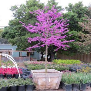 گیاه ارغوان  زمان های هرس درختان و درختچه های فضای سبز cercis plant 4 300x300