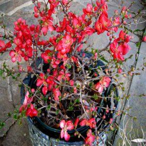 گیاه به ژاپنی  زمان های هرس درختان و درختچه های فضای سبز chaenomeles plant 10 300x300