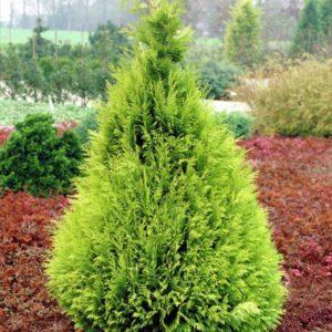 گیاه شبه سرو