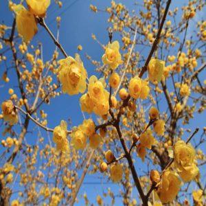 زمان های هرس درختان و درختچه های فضای سبز chimonanthus praecox plant 12 300x300