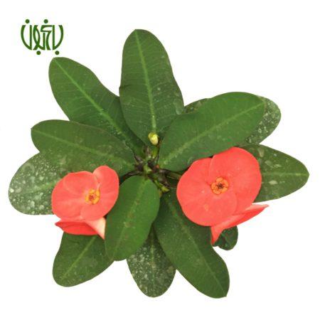 گل مرجان  مرجان گل درشت-CHRIST PLANT christ plant 9 450x450