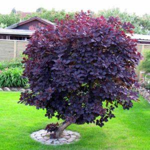 درخت پر  زمان های هرس درختان و درختچه های فضای سبز cotinus coggyria plant 13 300x300