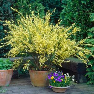 گل طاووسی  زمان های هرس درختان و درختچه های فضای سبز cytisus plant 16 300x300