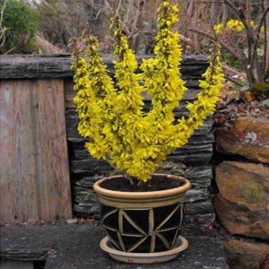 گل یاس زرد  زمان های هرس درختان و درختچه های فضای سبز forsythia plant 17 300x300