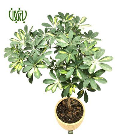 شفلرا  شفلرا درختچه ای با گلدان سفالی gift arboricola 3 450x450