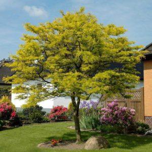 درخت لیلکی  زمان های هرس درختان و درختچه های فضای سبز gleditsia plant 19 300x300