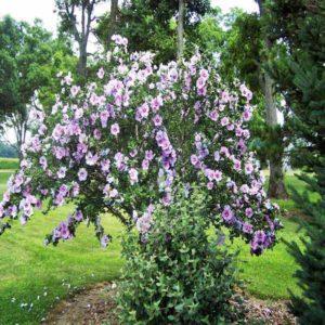 ختمی درختی  زمان های هرس درختان و درختچه های فضای سبز hibiscus syriacus plant 20 300x300