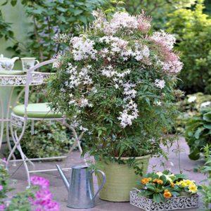 گل یاسمن  زمان های هرس درختان و درختچه های فضای سبز jasminum officinal plant 21 300x300