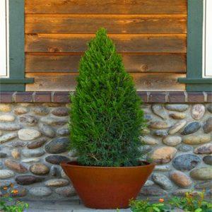 سرو کوهی  زمان های هرس درختان و درختچه های فضای سبز juniperus plant 22 300x300