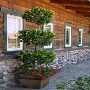 برگ نو  زمان های هرس درختان و درختچه های فضای سبز ligustrum plant 23 300x300