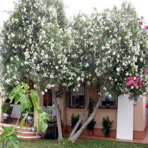 زیتون تلخ  زمان های هرس درختان و درختچه های فضای سبز melia plant 25 300x300
