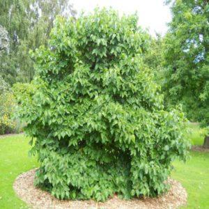توت  زمان های هرس درختان و درختچه های فضای سبز morus spp plant 26 300x300