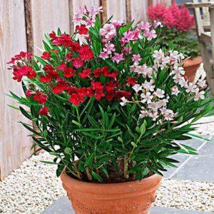 گیاه خرزهره  زمان های هرس درختان و درختچه های فضای سبز nerium oleander plant 27 300x300