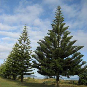 درخت کاج  زمان های هرس درختان و درختچه های فضای سبز pinus spp plant 30 300x300
