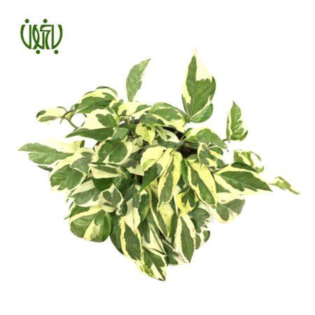 پوتوس سفید  پوتوس سفید (ملکه مرمری)-s.aureus Marble Queen plant devils ivy 4 450x450