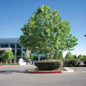 درخت چنار