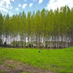 درخت صنوبر  زمان های هرس درختان و درختچه های فضای سبز populus spp plant 32 300x300