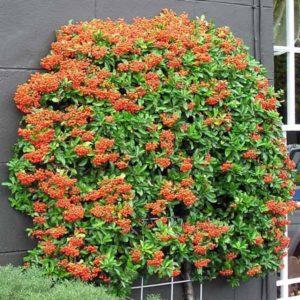 پیراکانتا  زمان های هرس درختان و درختچه های فضای سبز pyracantha spp plant 33 300x300