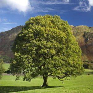 درخت بلوط  زمان های هرس درختان و درختچه های فضای سبز quercus spp plant 34 300x300