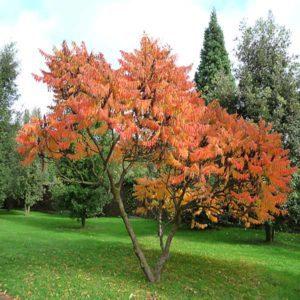 سماق  زمان های هرس درختان و درختچه های فضای سبز rhus plant 35 300x300