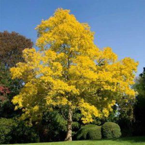 اقاقیا  زمان های هرس درختان و درختچه های فضای سبز robinia plant 36 300x300