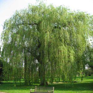 درخت بید مجنون  زمان های هرس درختان و درختچه های فضای سبز salix spp plant 37 300x300