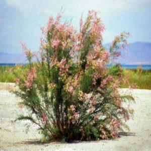 گز  زمان های هرس درختان و درختچه های فضای سبز tamarix spp plant 43 300x300