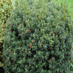 سرخدار  زمان های هرس درختان و درختچه های فضای سبز taxus spp plant 44 300x300