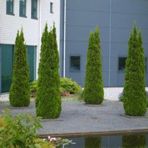 سرو خمره ای  زمان های هرس درختان و درختچه های فضای سبز thuja plant 39 300x300