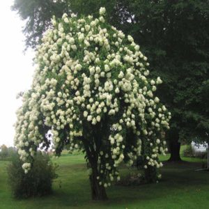 درخت بداغ  زمان های هرس درختان و درختچه های فضای سبز viburnum spp plant 41 300x300