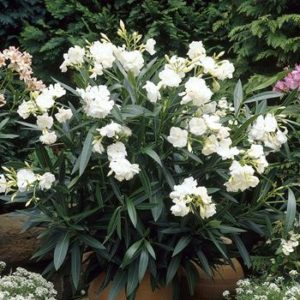 Nerium_oleander  گیاهان آپارتمانی و فضای باز زیبا و خطرناک              300x300